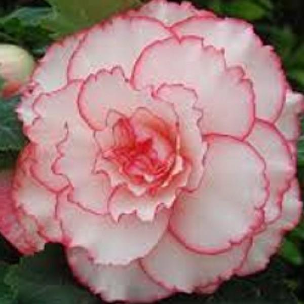 AmerHyb Picotee White Pink