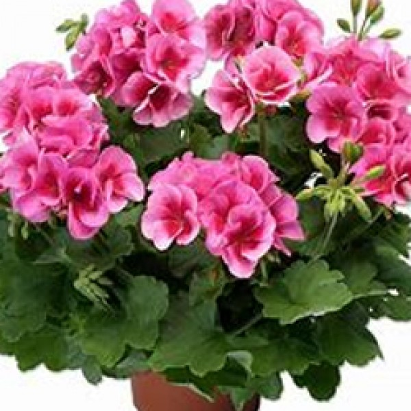 Calliope Lg. Rose Mega Splash