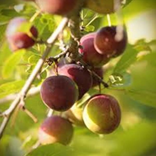 Opata Cherry