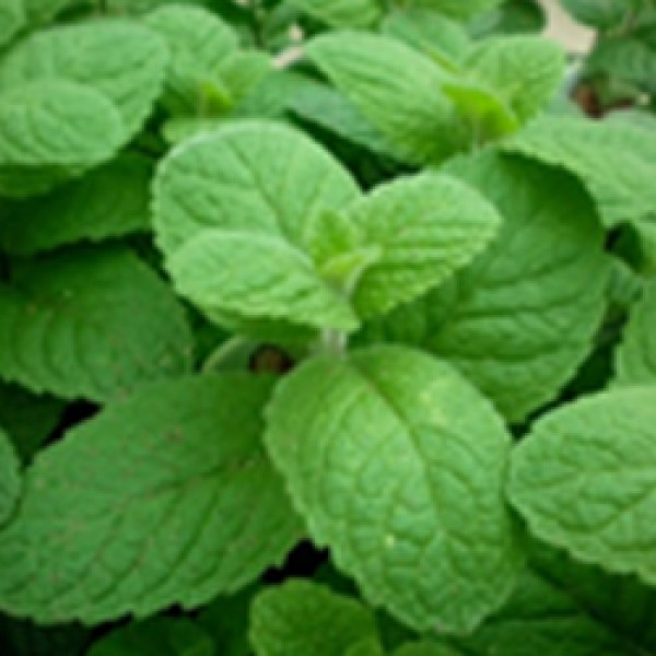 Mint Assorted
