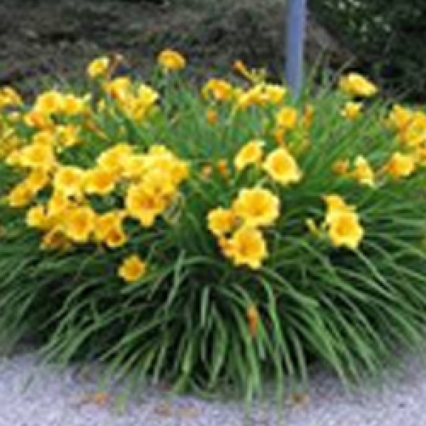 Day Lily – Stella D'or