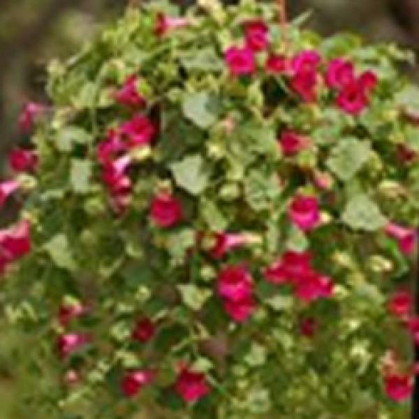Lofos Compact Rose